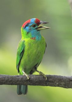 Birds of Asia: Barbets  Barbet, Blue-throated   Megalaima asiatica  Found: Asia