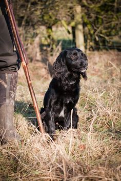 Gundog training a working Cocker Spaniel. | Look at the face… | Flickr