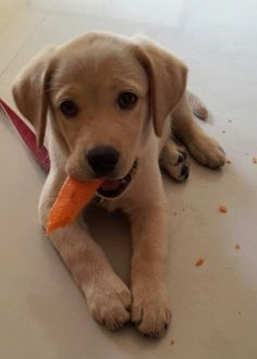 Labrador Retriever-Dog Breed Information,Temperament,Pictures,Characteristics,Lifespan