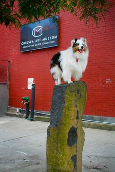 https://flic.kr/p/K2Ar63 | Leeloo Art Installation | Once upon a time, Leeloo was an art exhibit down in Chelsea (2007). At least that's what I told her. She rose to the occasion in epic Sheltie fashion. (The exhibit was a smash hit.)