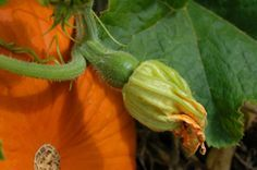 Very in depth pumpkin growing guide.  It even tells you how to tell if a flower is male or female and why you'd even want to care.