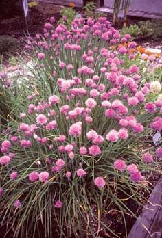 chives- veg garden border -Territorial