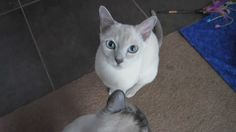 """Clicker trained to sit, come, high-five and jump. For the """"jump"""" I do not require them to lift their hind legs off of the ground (just reach up high). Cat Tricks, Tonkinese Cat, High Five, Cats, Simple, Animals, Give Me 5, Gatos, Animales"""