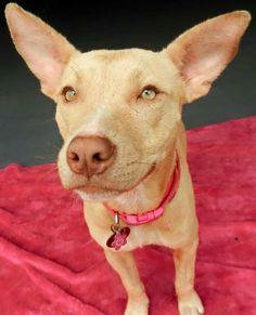 1000+ images about Canine- Xoloitzcuintli on Pinterest | Pets ... Xoloitzcuintli For Sale In California