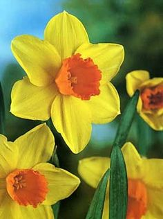 Narcissus Large Cup Narcissus  Loveday