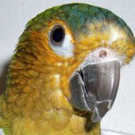 Brown-Throated Conure profile