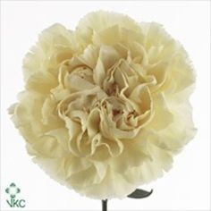 AmerCameron ica is a beautiful cream / yellow standard carnation variety. 65cm tall & wholesaled in 20 stem wraps. (Also known as Dianthus Flowers).
