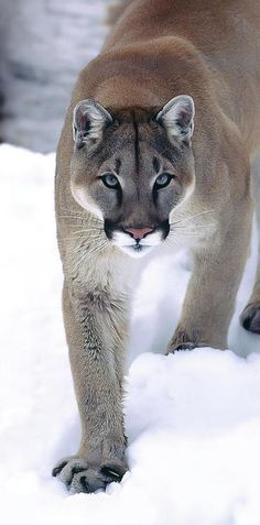 Pumas (Puma concolor) have more names than any other cat - puma, cougar, mountain lion, catamount, and Florida panther, among others. Don't run into the woods, nor off the bike path, in spring. Mama cats don't like anyone near their babies. It's their land; you're just take-out delivery. They prey on deer, elk, moose, horses, porcupines, and other spaced-out mammals.