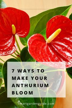 Fun And Eco-Helpful Solutions To Remodel Your Yard 7 Ways To Make Your Anthurium Bloom. On the off chance that Your Flamingo Flower Isn't Blooming, Try These 7 Tips To Fix Your Plant. Houseplant Care Tips To Get Your Anthurium Thriving Again. Easy House Plants, House Plants Decor, Garden Plants, Indoor Plants, Patio Plants, Flamingo Plant, Flamingo Flower, Anthurium Care, Rainforest Plants