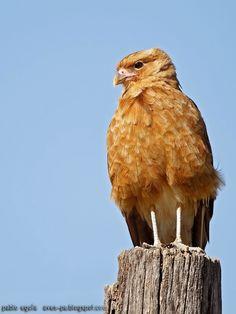 mis fotos de aves: Chimango [Milvago chimango] Chimango caracara