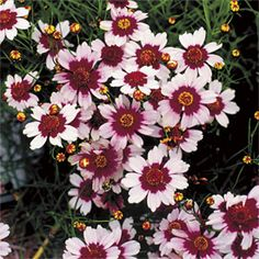 Coreopsis 'Sweet Dreams'- feminine and works beautifully in sunny locations!