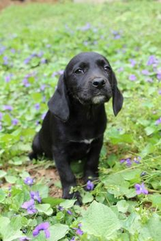 ADOPTED 4/21/13! Meet Flash, a sweet female puppy who likes to cuddle | Labrador Friends of the South