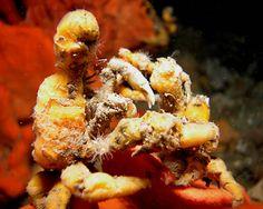 Decorator Crab, Hyastenus elatus - master of camouflage