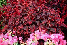 Image result for coleus indian summer