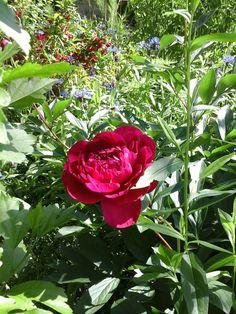 Smithville Ontario Garden Beautiful  Peonies,