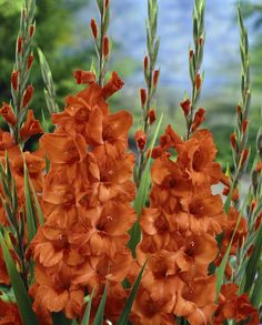 "Gladiolus ""Hunting Song"""