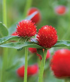 Gomphrena, Strawberry Fields Long-stemmed, lanky plants bloom continuously midsummer through frost.  lifecycle: Annual Uses: Beds, Borders, Container, Cut Flowers Sun: Full Sun Height: 24 inches Spread: 8-10 inches Sowing Method: Indoor Sow Bloom Duration: 12 weeks