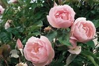 Roses for Louisiana- Belinda's Dream, Caldwell Pink, Carefree Beauty (Katy Road Pink), Climbing Pinkie, Else Poulsen, Knock Out, Marie Daly, Mutabilis, Perle d'Or, Sea Foam and The Fairy – were the best performing. In 2006, Spice and Duchesse de Brabant were added, and in 2007, Ducher and Georgetown Tea joined the list.