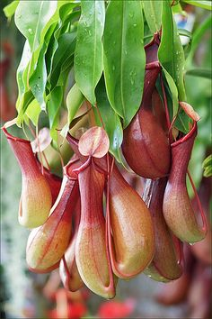 Tropical Pitcher Plants | Flickr - Photo Sharing!