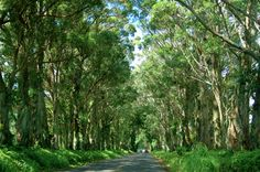 Tunnel of Trees in Kauai, Hawaii - we drove by this everyday and everyday it was the highlight of my day! photo by machumbi