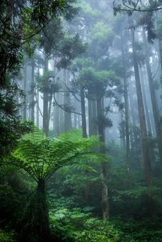 Mist in Druids Tall Trees Forest - You're as beautiful as the rainforest. Would you let someone harm the rainforest? Would you talk badly to the rainforest? Magical Forest, Tree Forest, Forest Rain, Misty Forest, Foggy Forest, Dark Forest, All Nature, Amazing Nature, Nature Pics