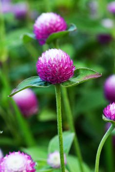 how to grow gomphrena globosa (globe amaranth) | loves heat and tolerates drought, attracts humming birds and butterflies