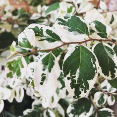 Não canso da beleza da mil cores. Perfeição da natureza! ❤️   #milcores #breyniadisticha #meujardim #saberesdojardim #minhasplantas #jardimdeapartamento #jardimnavaranda #variegata