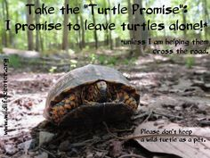 Wildlife Center of Virginia asks you to take the Turtle Promise this year on May Learn more about how you can help turtles in your community and worldwide. World Turtle Day, Exotic Pets, Turtles, Virginia, Cute Animals, Wildlife, Community, Easy, Mental Health