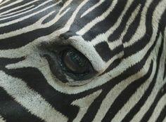 Zebra Eye~