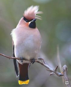 Rufous Waxwings ((Bombycilla Merry garrulus) with raised crest.