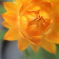 straw flower {iphone   $15 macro} photo