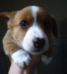 corgi pup<3<3