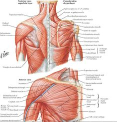 Muscle Diagram Of Shoulder . Muscle Diagram Of Shoulder Back Shoulder Diagram Anatomy Body Diagram Shoulder Muscle Anatomy, Shoulder Blade Muscles, Neck Muscle Anatomy, Chest Muscles, Muscle Diagram, Body Diagram, Human Body Anatomy, Human Anatomy And Physiology, Infraspinatus Muscle