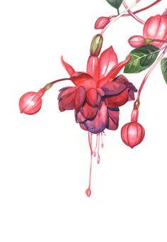 Fuchsia Original watercolour painting Original Botanical painting