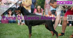 The Exclusive Dobermann beauty fashion contest 2018 ended last of December Puma Di Gavrio Ahiles from CROATIA with total votes 1331 position n. Fashion Models, Fashion Beauty, Beauty Contest, Fashion Advertising, Doberman, Croatia, Milan, Competition, December
