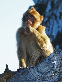 Gibraltar monkey smiling - Beautiful photo of this little monkey giving us a great smile with its teeth. Absolutely love the pose! Monkey Smiling, Great Smiles, Little Monkeys, Primates, Nature Reserve, Great Pictures, Cousins, Old World, Teeth