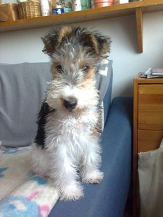 Adorable Wire Haired Fox Terrier
