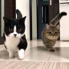 I love munchkin cats! Click the Photo For More Adorable and Cute Cat Videos and … I love munchkin cats! Click the Photo For More Adorable and Cute Cat Videos and Photos Cute Cats And Kittens, I Love Cats, Crazy Cats, Kittens Cutest, Lps Cats, Funny Kittens, Kittens Playing, Baby Kittens, Baby Animals