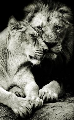 ~~Tenderly ~ affectionate lion couple by Miguel Angel de Arriba~~