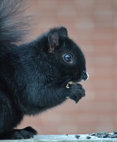 It's so cold outside this poor guy has frosty nose. Black Squirrel, Squirrel Girl, Cute Squirrel, Squirrels, Happy Animals, Cute Funny Animals, Cute Baby Animals, Cute Cats, Wild Animals
