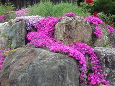 庭石にからむサクラソウ