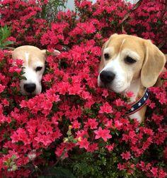 Beagles Charlie and Sora..