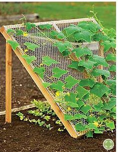 Gardening tips.  Trellis your cucumbers to get great cucumbers and greens (underneath)