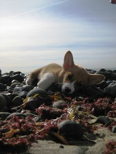 Oh man. I don't know if I can handle anymore Corgi. I'm going to explode! Best Dog Breeds, Best Dogs, Coconut Conditioner, Corgi Pictures, Corgi Dog, My Animal, Seaweed, Animal Photography, Dogs And Puppies