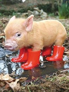 Cute Baby Pigs, Cute Piglets, Baby Animals Super Cute, Cute Little Animals, Cute Funny Animals, Cutest Animals, Baby Piglets, Cute Animal Humor, Cutest Pets