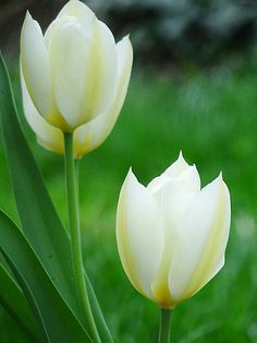 To most people, this is just a lovely picture of white tulips. To some of us, it means something more. @Susannah Durling