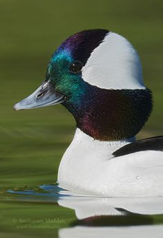 Bufflehead drake (Bucephala albeola) breeds in ponds and small lakes of Canada and winters in the United States