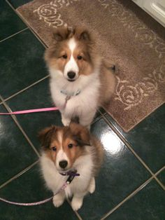 Shelties- Where's our Cookie? BellaRose Shelties