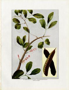 Items similar to 1911 CAROB BEAN original antique fruit & vegetable food lithograph print - st johns bread on Etsy Vintage Kitchen Decor, Tree Print, Fruit, Food Design, All Print, Plant Leaves, Beans, St John's, The Originals