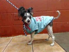 SAFE --- 8 YEAR OLD PAPILLON NEEDS PLEDGES AND RESCUE! OWNER SURRENDER! AVAILABLE NOW!  A4071125 My name is Skipper and I'm an approximately 8 years, 2 month old male papillon. I am already neutered. I have been at the Downey Animal Care Center since March 21, 2015. I am available on March 21, 2015. You can visit me at my temporary home at DRECEIVING. https://www.facebook.com/photo.php?fbid=838683402878660&set=pb.100002110236304.-2207520000.1426970565.&type=3&theater